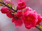 Làm mẹ - Truyện cổ tích: Sự tích hoa đào