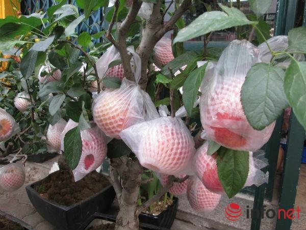 Xuất hiện cây táo cảnh Trung Quốc cực đẹp mắt, không nên ăn, bán chơi Tết-5
