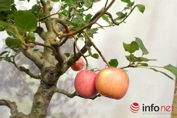Xuất hiện cây táo cảnh Trung Quốc cực đẹp mắt, không nên ăn, bán chơi Tết-1