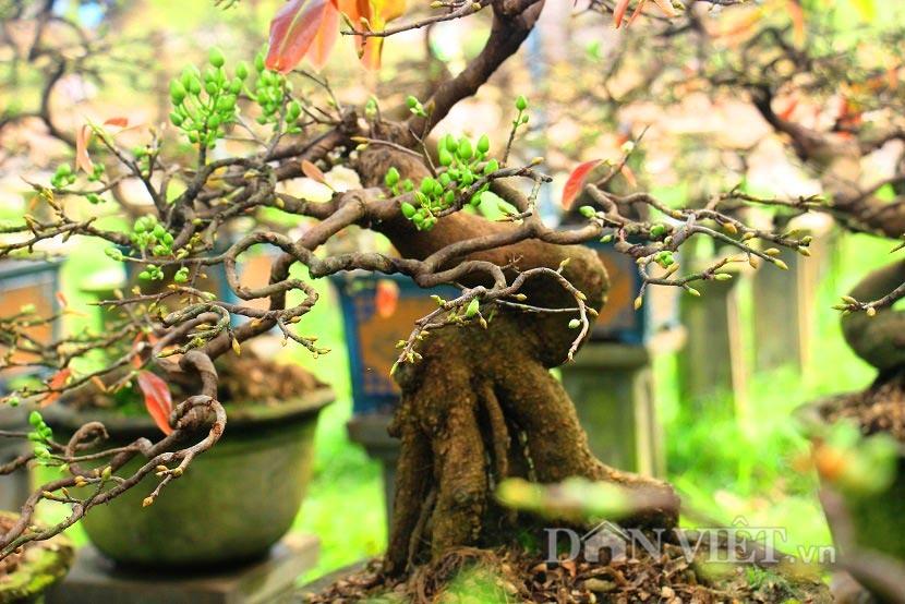 """man nhan ngam ve dep """"hut mat"""" cua goc mai bonsai binh dinh - 11"""