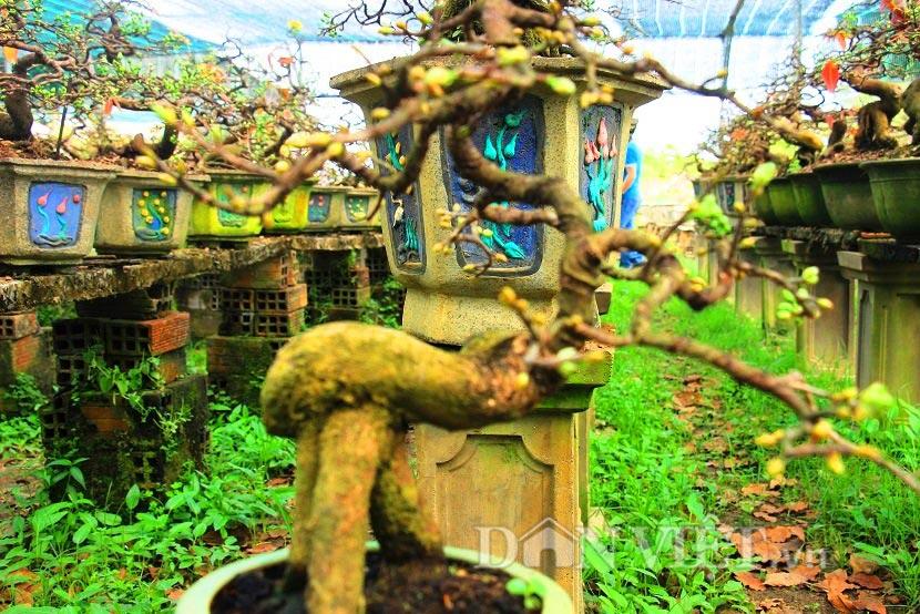 """man nhan ngam ve dep """"hut mat"""" cua goc mai bonsai binh dinh - 12"""