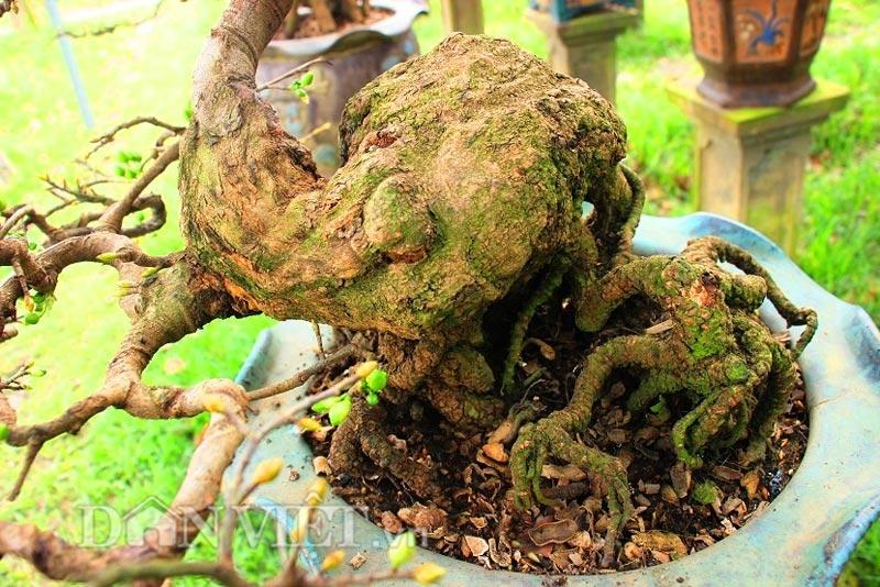 """man nhan ngam ve dep """"hut mat"""" cua goc mai bonsai binh dinh - 5"""