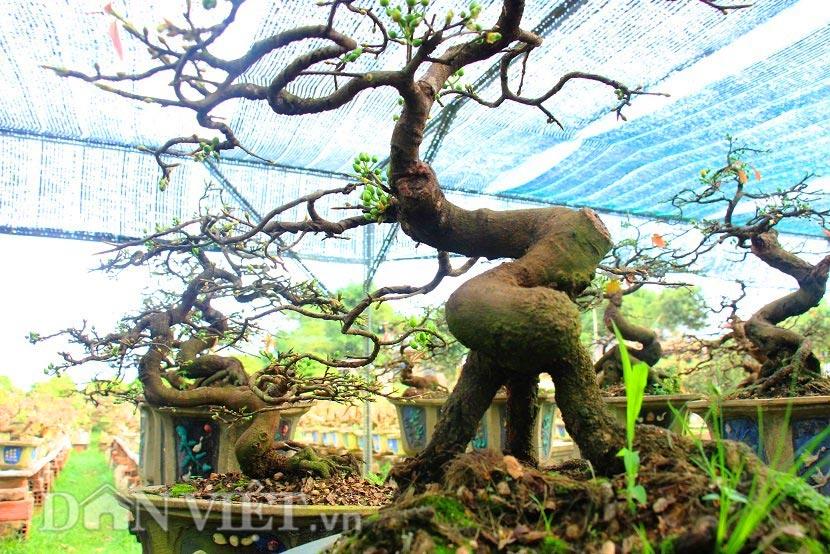 """man nhan ngam ve dep """"hut mat"""" cua goc mai bonsai binh dinh - 6"""