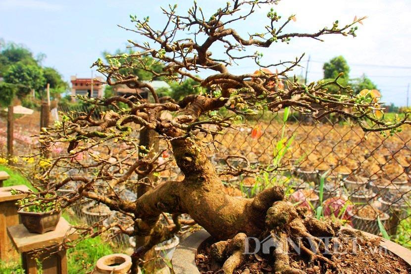 """man nhan ngam ve dep """"hut mat"""" cua goc mai bonsai binh dinh - 8"""