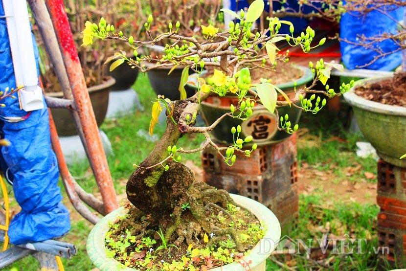 """man nhan ngam ve dep """"hut mat"""" cua goc mai bonsai binh dinh - 9"""
