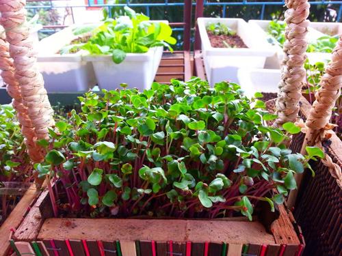 Mẹ Lào Cai trồng rau mầm kín bậu cửa sổ cho chồng con-10