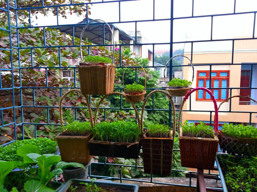 Mẹ Lào Cai trồng rau mầm kín bậu cửa sổ cho chồng con-1