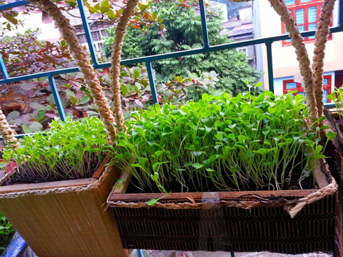 Mẹ Lào Cai trồng rau mầm kín bậu cửa sổ cho chồng con-8