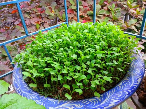 Mẹ Lào Cai trồng rau mầm kín bậu cửa sổ cho chồng con-12