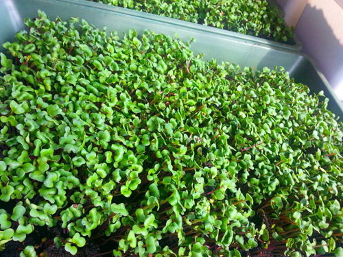 Mẹ Lào Cai trồng rau mầm kín bậu cửa sổ cho chồng con-13