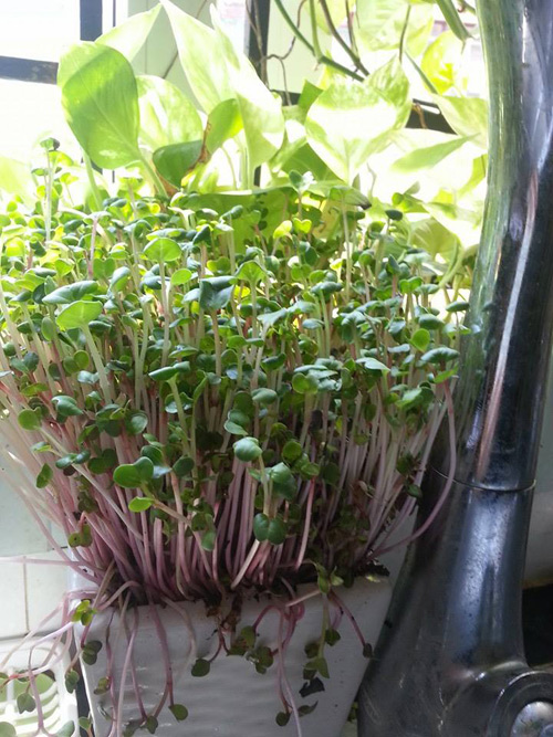 Mẹ Lào Cai trồng rau mầm kín bậu cửa sổ cho chồng con-4