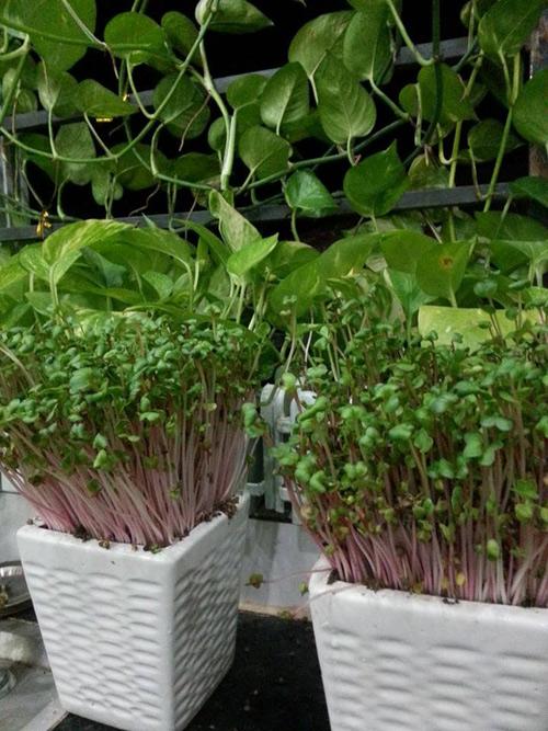 Mẹ Lào Cai trồng rau mầm kín bậu cửa sổ cho chồng con-3