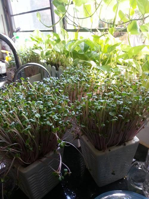 Mẹ Lào Cai trồng rau mầm kín bậu cửa sổ cho chồng con-2