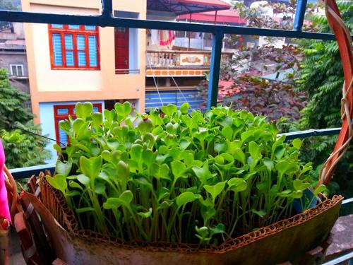 Mẹ Lào Cai trồng rau mầm kín bậu cửa sổ cho chồng con-9