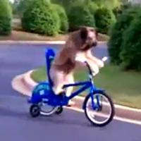 'Choáng' với chú chó đạp xe điêu luyện