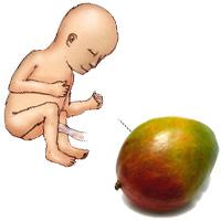 Sổ tay mang thai: Bé bằng quả xoài
