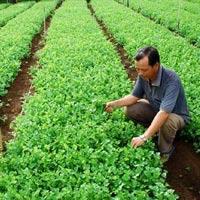 Rau nội sốt giá vì rau độc Trung Quốc