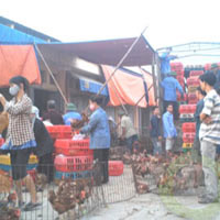 Hành trình truy tìm gà 30 nghìn/kg