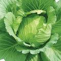 Sức khỏe - Bắp cải giúp giảm cân?