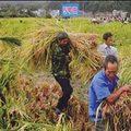 Mua sắm - Giá cả - Chì trong gạo Trung Quốc vượt ngưỡng 120 lần