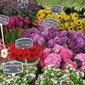 Đi đâu - Xem gì - Chợ hoa nổi duy nhất trên thế giới tại Amsterdam