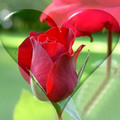 Làm mẹ - Truyện cổ tích: Sự tích hoa hồng