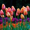 Xem & Đọc - Những thiên đường hoa tulip không đến từ Hà Lan