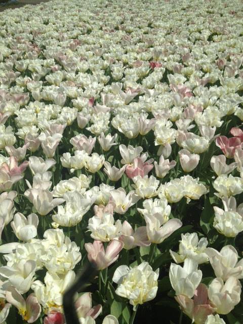 thu minh ve que chong ngam hoa tulip - 8