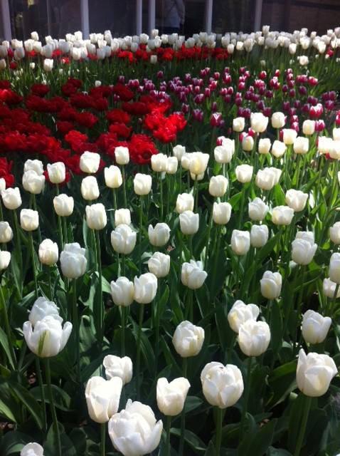 thu minh ve que chong ngam hoa tulip - 12
