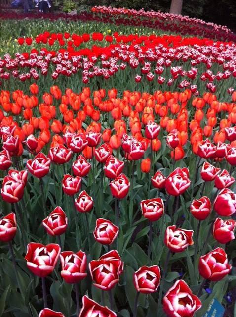thu minh ve que chong ngam hoa tulip - 13
