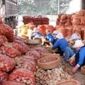 Tin tức - Làm rõ vụ khoai tây TQ nhiễm độc