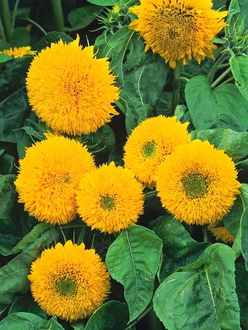 kiem hat trong hoa huong duong lam canh - 9