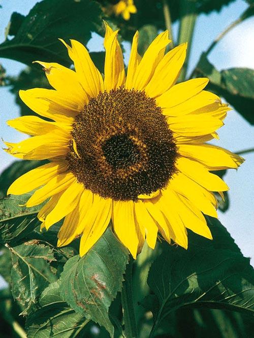 kiem hat trong hoa huong duong lam canh - 7