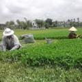 Mua sắm - Giá cả - Kiếm hàng trăm triệu nhờ trồng rau má