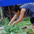 Tin tức - Ngắm vườn rau trên cao của dân Thủ đô