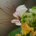 Tin tức - Kì lạ cây có hai màu hoa ở Hà Nội
