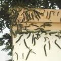 Tin tức - Lâm Đồng: Phát hoảng vì sâu bò lổm ngổm trong nhà