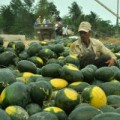 Mua sắm - Giá cả - Khan hiếm dưa hấu xuất khẩu sang Trung Quốc