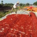 Mua sắm - Giá cả - Thương lái Trung Quốc lừa người trồng ớt