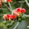 Sức khỏe - Chữa mụn nhọt sưng tấy với cây hoa gạo
