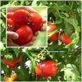 Nhà đẹp - Bí kíp trồng cà chua siêu ngon vào mùa hè