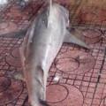 Tin tức - Cá mập lại xuất hiện gần bãi tắm Quy Nhơn