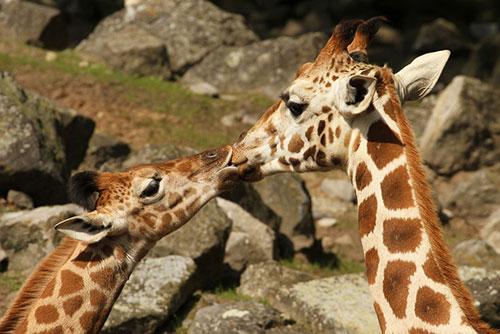Những nụ hôn rực rỡ trong thế giới động vật-13