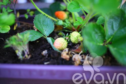 Cô chủ Việt khoe cách trồng dâu tại Pháp-10