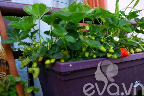 Cô chủ Việt khoe cách trồng dâu tại Pháp-2