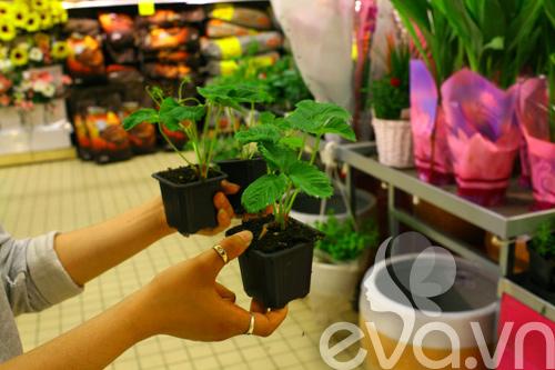 Cô chủ Việt khoe cách trồng dâu tại Pháp-3