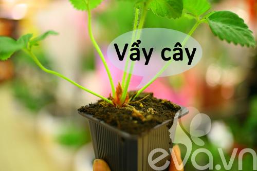 Cô chủ Việt khoe cách trồng dâu tại Pháp-5