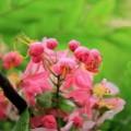 Tin tức - Muồng hoa đào rực rỡ góc trời Hà Nội