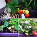 Nhà đẹp - Cô chủ Việt khoe cách trồng dâu tại Pháp