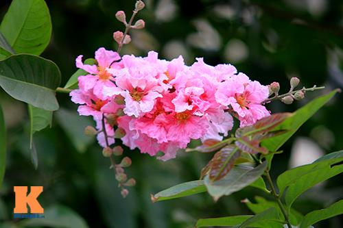 Ngắm vẻ đẹp bằng lăng hồng ở Hà Nội-9